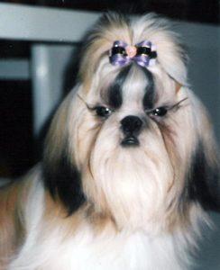 Venta de cachorros Shih Tzu